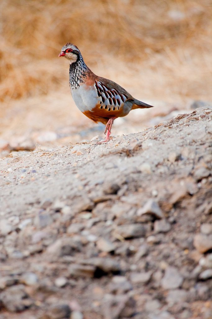 Red-legged Partridge, Alectoris rufa, Monfragüe National Park, SPA, ZEPA, Biosphere Reserve, Cáceres Province, Extremadura, Spain, Europe : Stock Photo