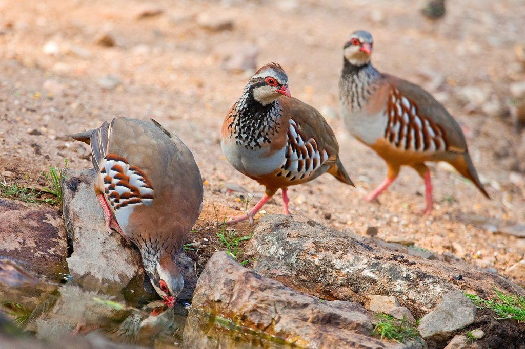 Stock Photo: 1566-986792 Red-legged Partridge, Alectoris rufa, Monfragüe National Park, SPA, ZEPA, Biosphere Reserve, Cáceres Province, Extremadura, Spain, Europe