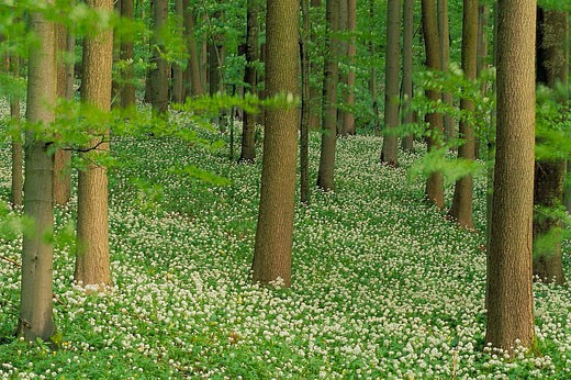Ramson in spring forest. (Allium ursinum). Hainich National Park, Thueringen, Germany. : Stock Photo