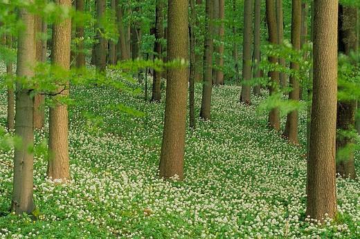Stock Photo: 1566-988 Ramson in spring forest. (Allium ursinum). Hainich National Park, Thueringen, Germany.