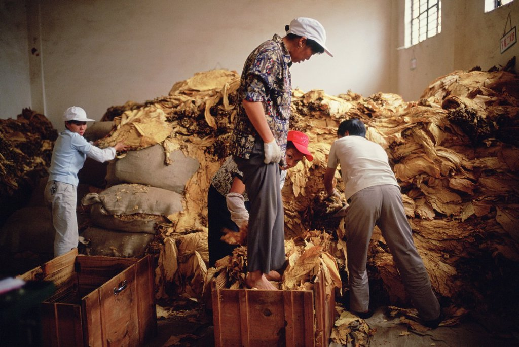 Stock Photo: 1566-988170 A woman packs loose tobacco into a wooden box at a tobacco collection center in Yunnan, China - one of the tobacco capitals of China