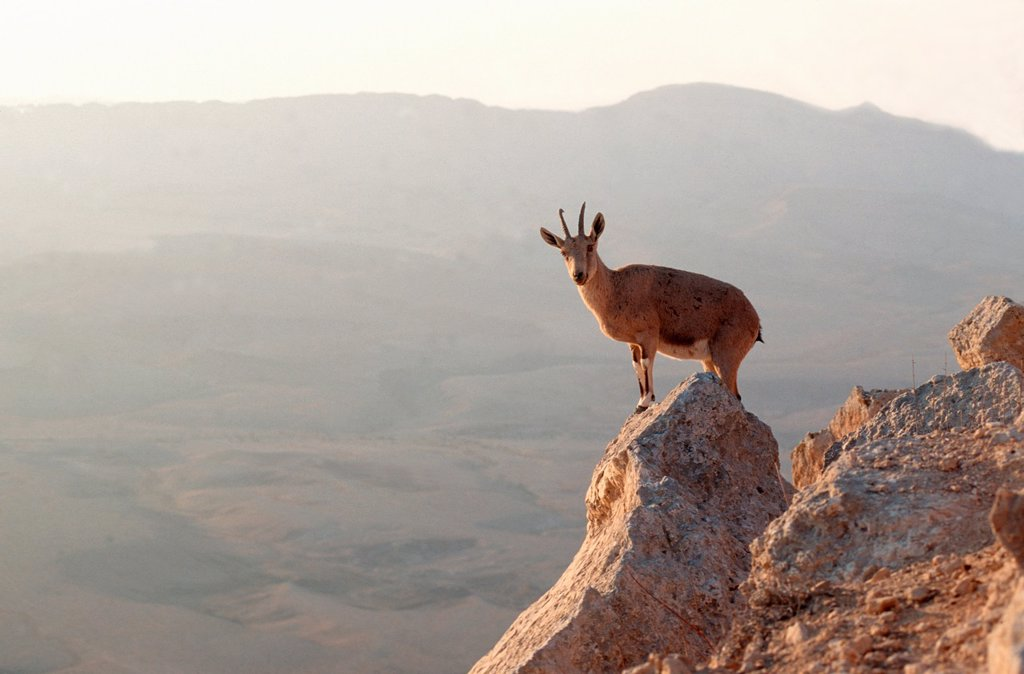 Stock Photo: 1566-988437 Ibex at the edge of the Ramon Crater at Mitzpe Ramos, Negev Desert