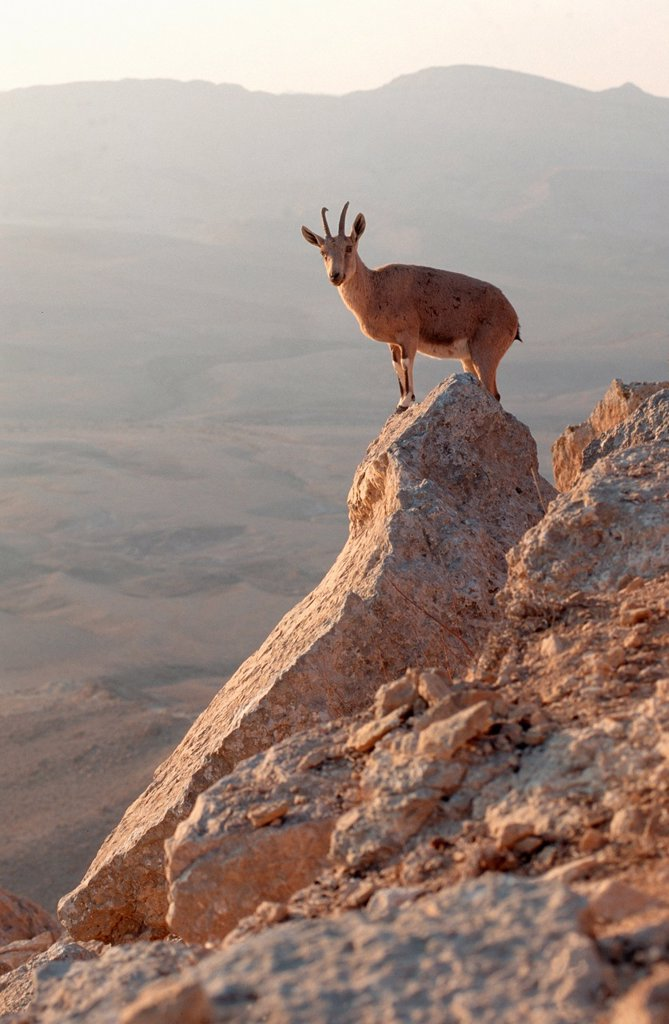 Stock Photo: 1566-988439 Ibex at the edge of the Ramon Crater at Mitzpe Ramos, Negev Desert