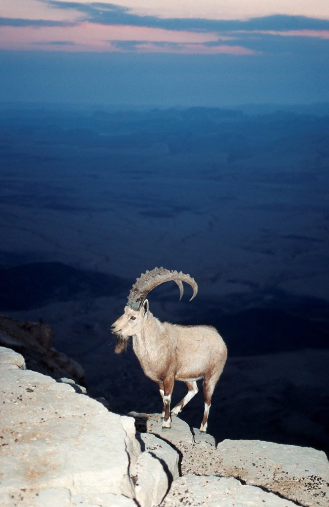 Stock Photo: 1566-988441 Ibex at the edge of the Ramon Crater at Mitzpe Ramos, Negev Desert