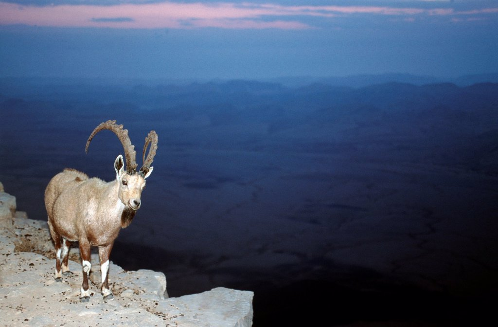 Stock Photo: 1566-988442 Ibex at the edge of the Ramon Crater at Mitzpe Ramos, Negev Desert