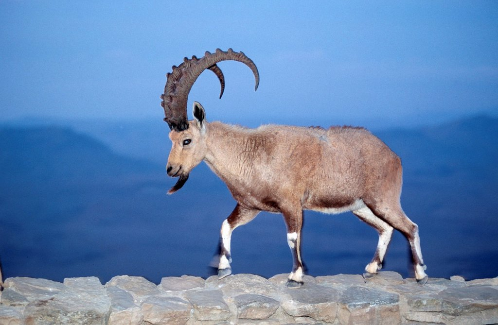 Stock Photo: 1566-988443 Ibex at the edge of the Ramon Crater at Mitzpe Ramos, Negev Desert