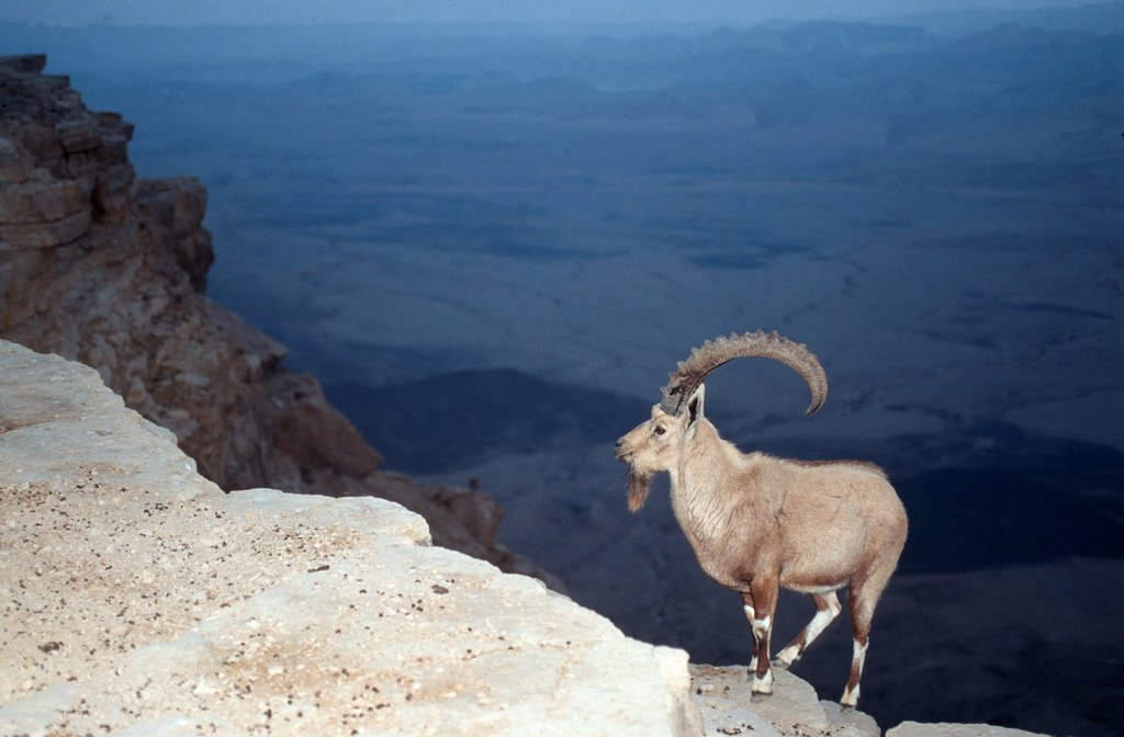 Ibex at the edge of the Ramon Crater at Mitzpe Ramos, Negev Desert : Stock Photo