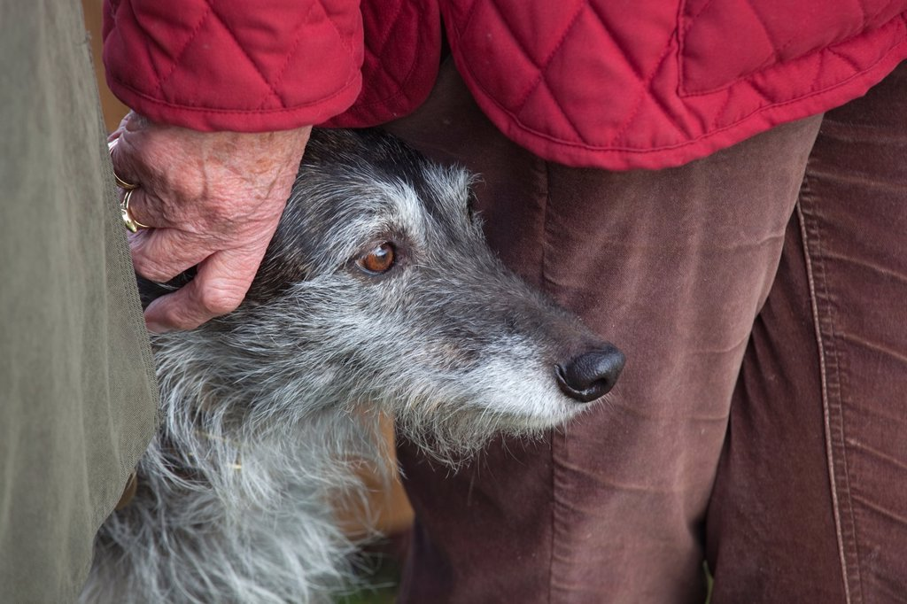 Portrait of Lurcher and owner : Stock Photo