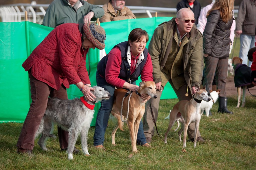 Stock Photo: 1566-988526 Whippets and lurchers about to race