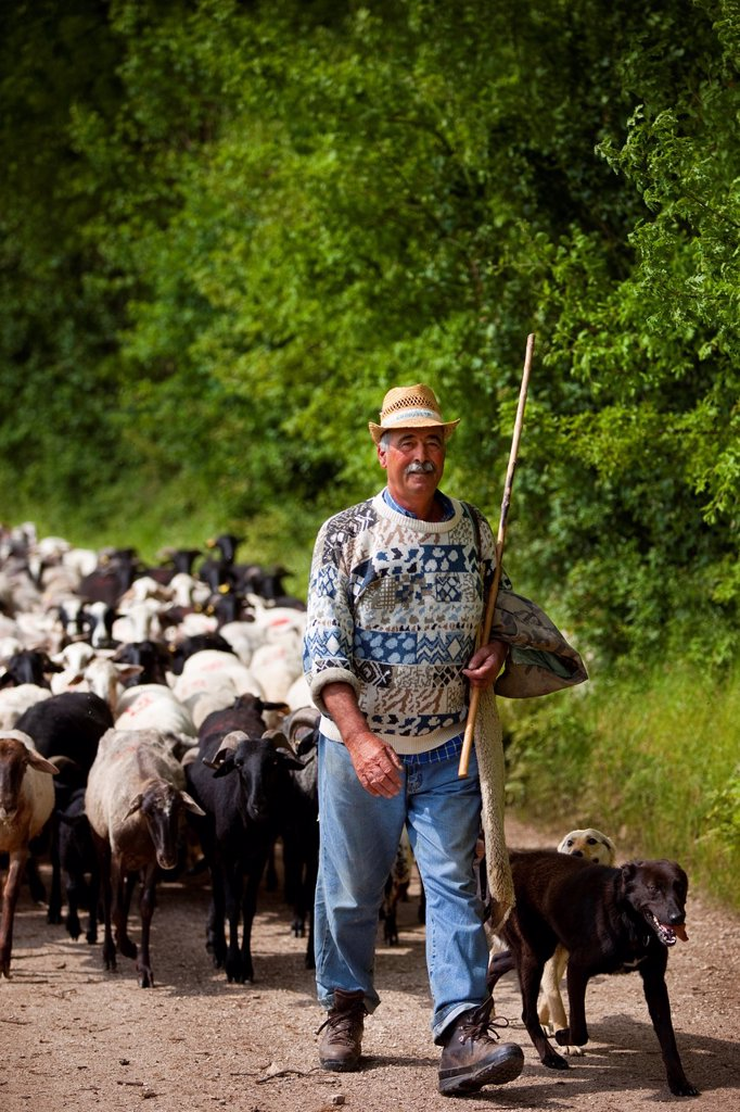 Stock Photo: 1566-988735 Santino, an Umbrian shepherd leads his flock down from the pastures in the hills near Campi Vecchio, Umbria Italy