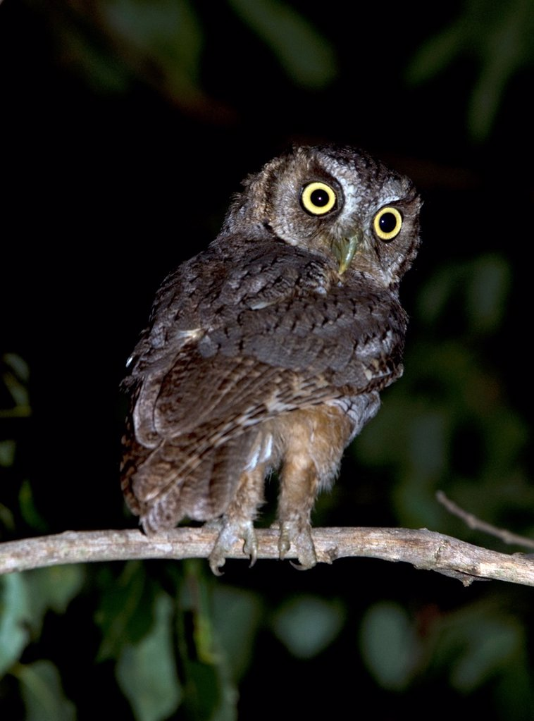 Tropical Screech Owl, Megascops choliba, in Paso de La Patria, Corrientes province, Argentina : Stock Photo
