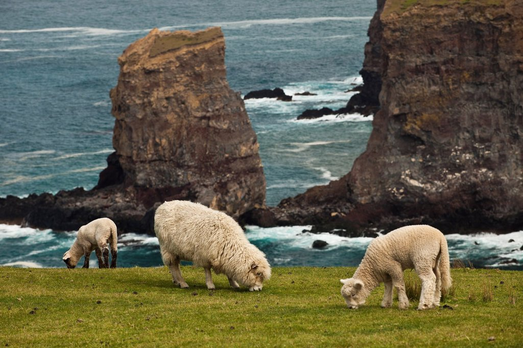 Stock Photo: 1566-989726 Sheep and lambs grazing, sea arch near Otanarito Bay collapsed after 2011 earthquake, Banks Peninsula, Canterbury