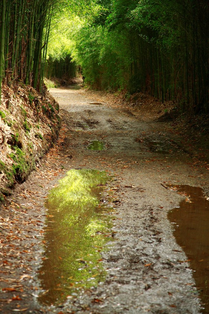 Stock Photo: 1566-990975 Puddles of water and mud in walking path surrounded by bamboo  Furnas, Sao Miguel, Azores islands