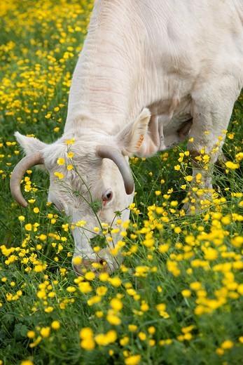 Charolais cows grazing in spring. Brionnais region, Saône-et-Loire, Burgundy, France : Stock Photo