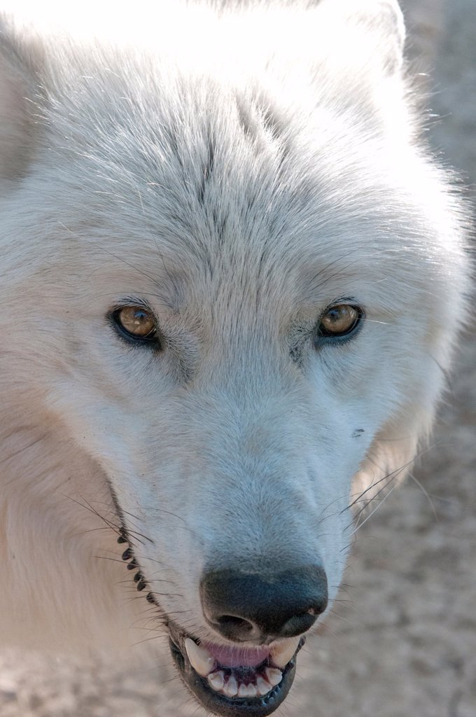 White variant of the North American timber wolf at the Wolf Science Centre in Ernstbrunn in Austria : Stock Photo
