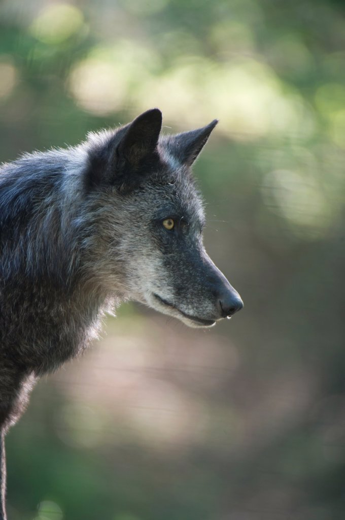 Stock Photo: 1566-992069 North American timber wolf at the Wolf Science Centre in Ernstbrunn in Austria  This black furred variant of the wolf eventually turns grey over 7-9 years