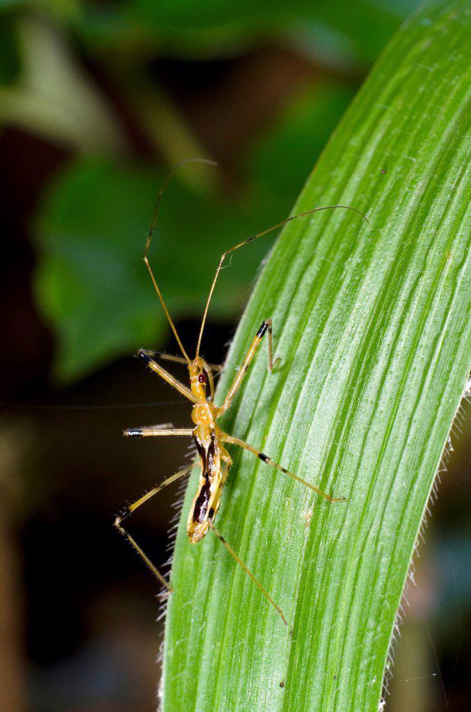 Stock Photo: 1566-992779 Assassin bug