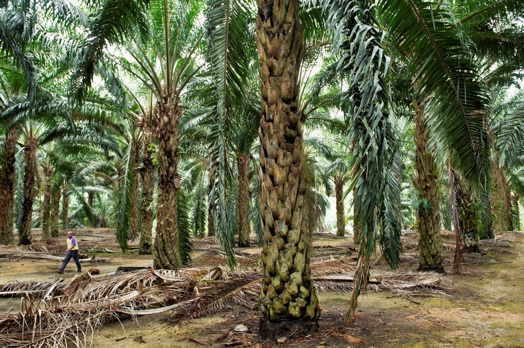 Large trees dwarf a man walking through a palm grove in Johor, Malaysia : Stock Photo