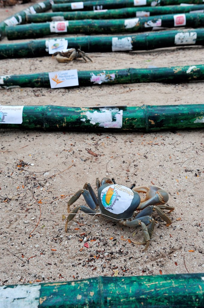 Stock Photo: 1566-995248 crabs race on the beach, Sainte-Anne Bay, Martinique, french island overseas region and department in the Lesser Antilles in the eastern Caribbean Sea, Atlantic Ocean