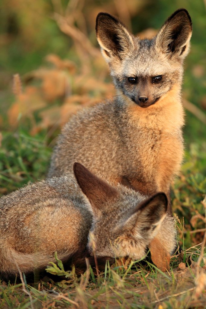 Bat-eared fox Otocyon megalotis : Stock Photo