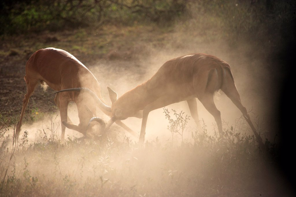 Two Impala fighting. Aepyceros melampus : Stock Photo