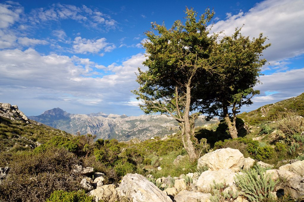 Yew, Taxus baccata, Puig des Teix, 1064 mts Sierra de Tramuntana, Majorca, Balearic Islands Spain : Stock Photo