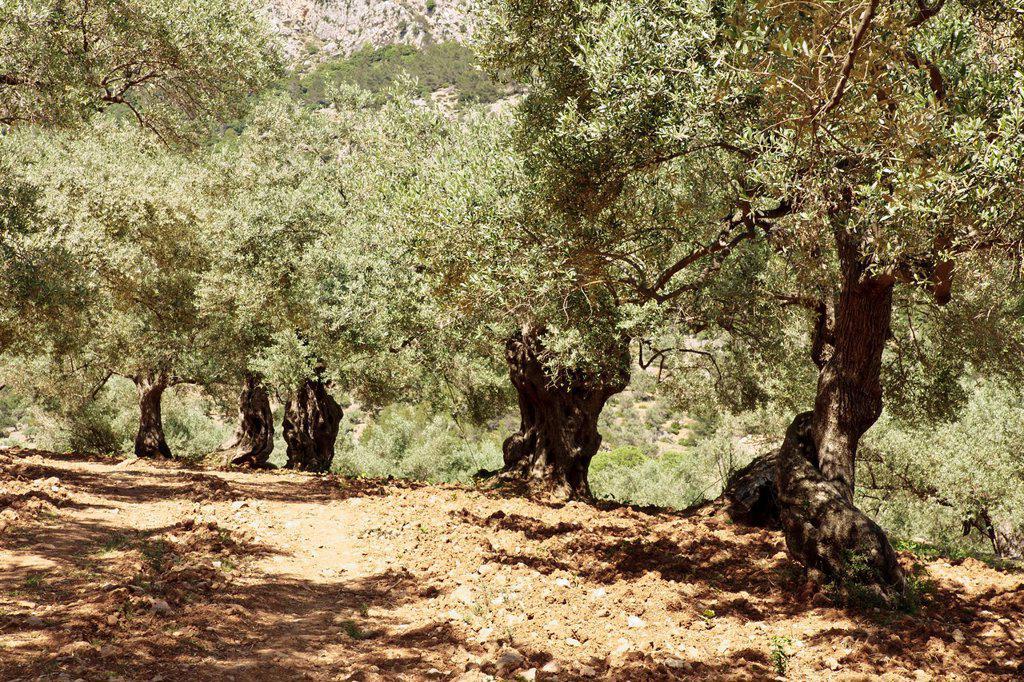 Pastoritx, Valldemossa, Sierra de Tramuntana, Majorca, Balearic Islands Spain : Stock Photo