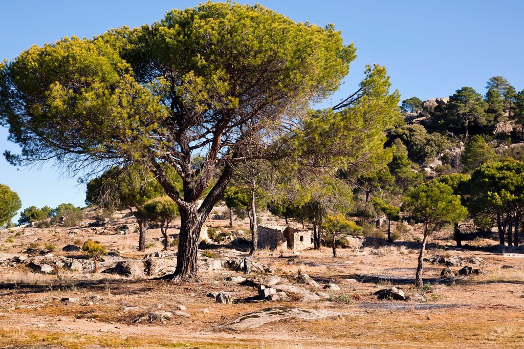Stock Photo: 1566-996842 Pines in Peña Halcón  Cadalso de los Vidrios  Madrid  Spain