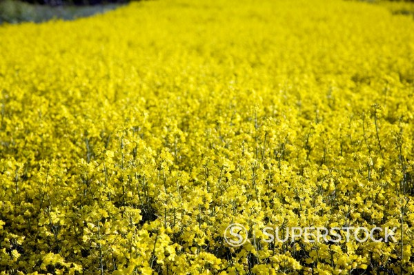 Overhead close up of yellow flowers of oil seed rape growing in field : Stock Photo