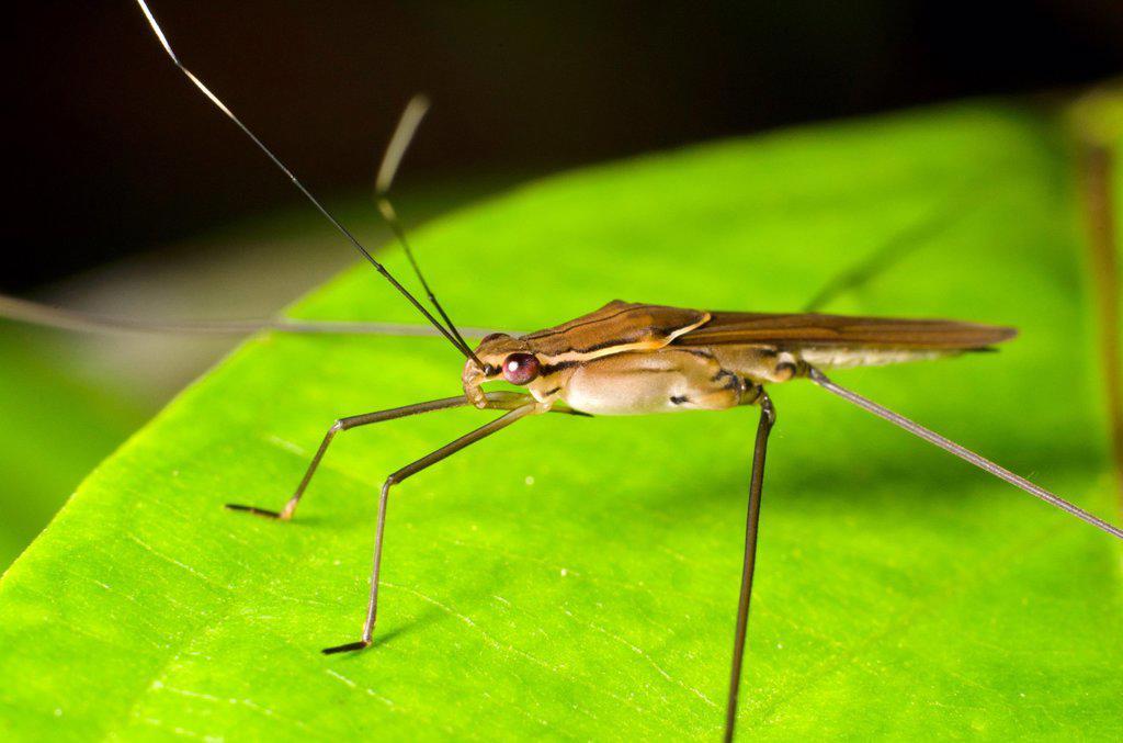 Stock Photo: 1566-999279 Assassin bug. Image taken at Kampung Skudup, Sarawak, Malaysia.