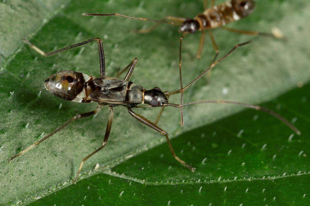 Stock Photo: 1566-999660 Ant mimic bug. Image taken at Kampung Skudup, Sarawak, Malaysia.
