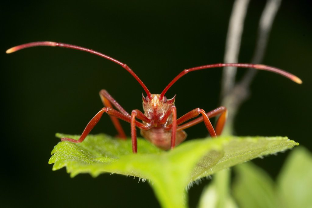 Stock Photo: 1566-999667 New born assassin bug. Image taken at Kampung Skudup, Sarawak, Malaysia.