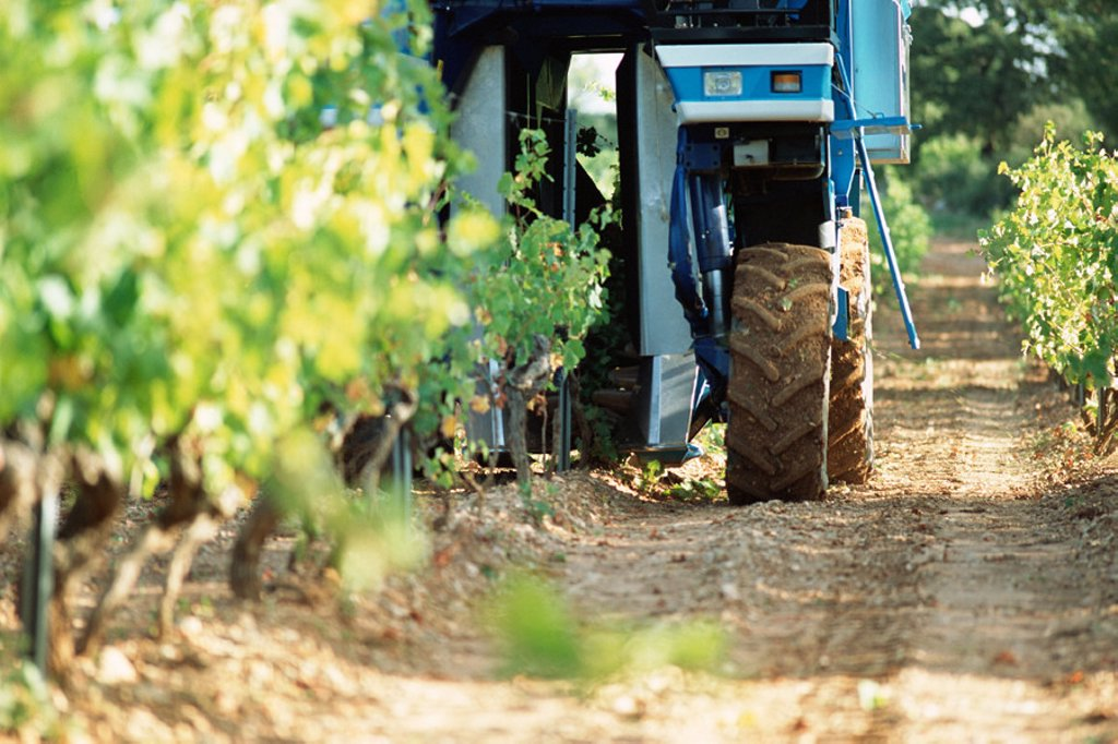 Stock Photo: 1569R-0247 Grape harvest