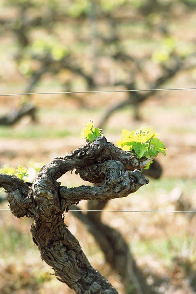 Stock Photo: 1569R-0475 Grapevine