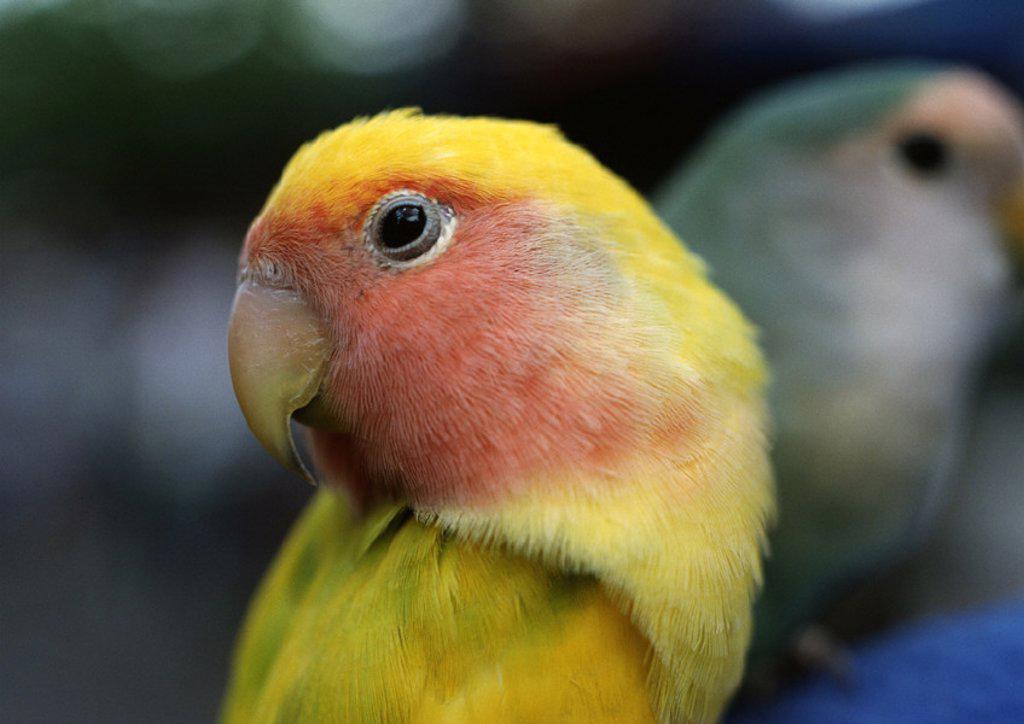 Parrots, close-up : Stock Photo