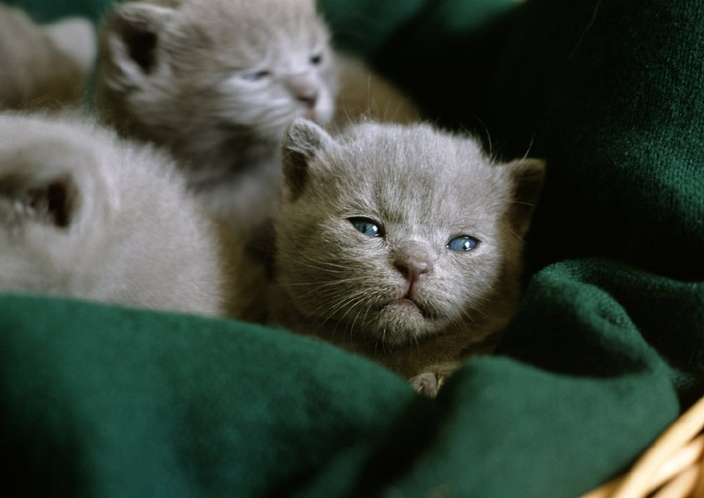 Grey kittens in a basket : Stock Photo