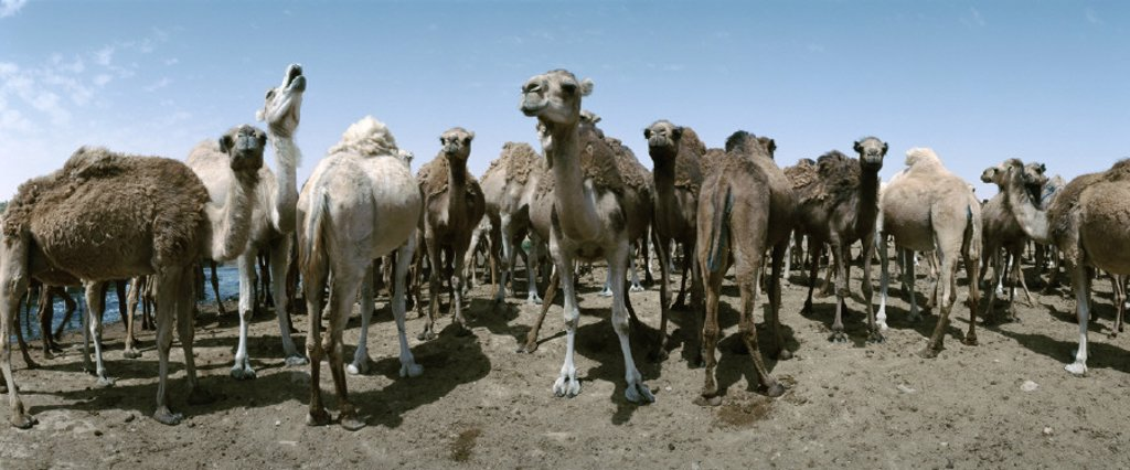 Stock Photo: 1569R-33039 Tunisia, herd of camels, panoramic view