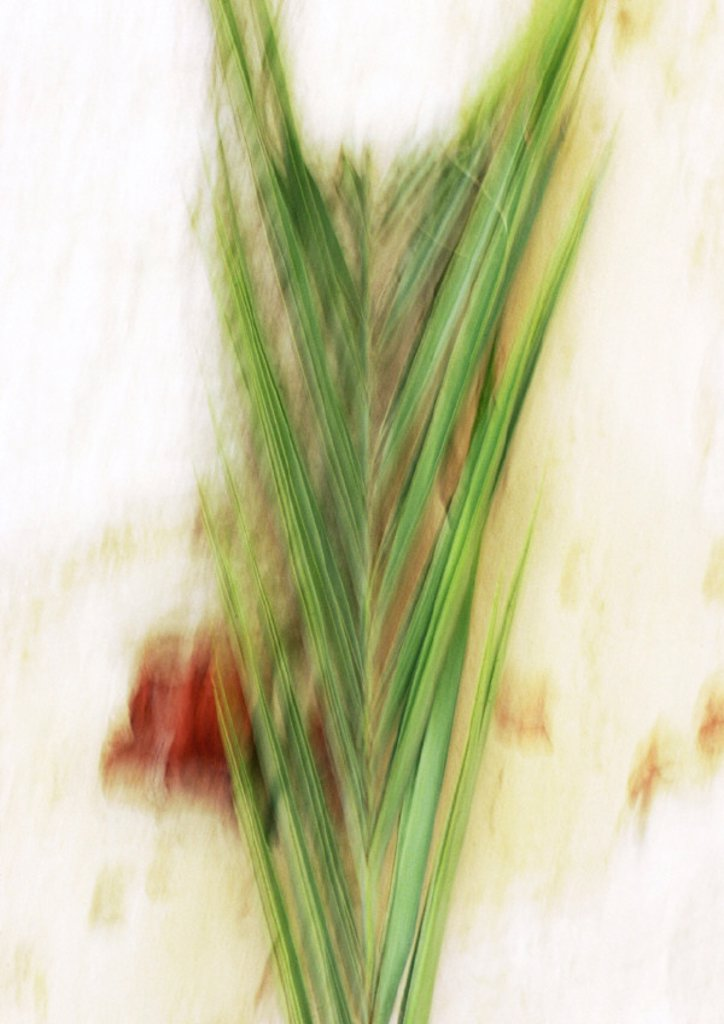 Close up of palm leaf, blurred : Stock Photo