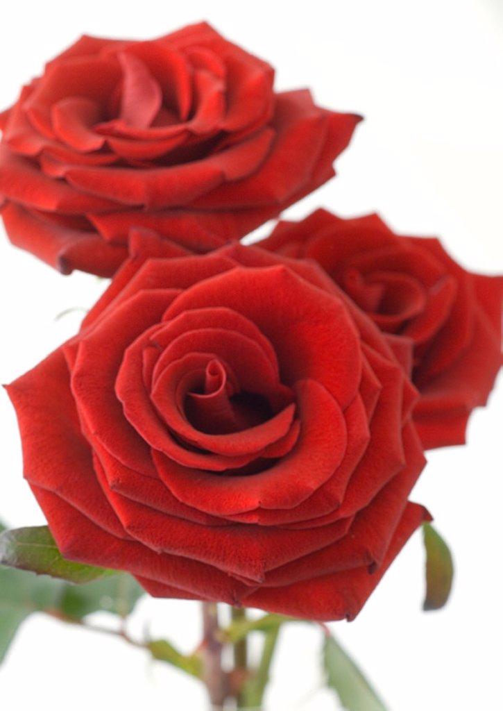 Stock Photo: 1569R-9010625 Red roses