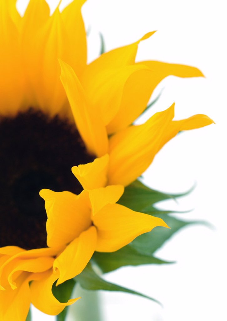 Sunflower : Stock Photo