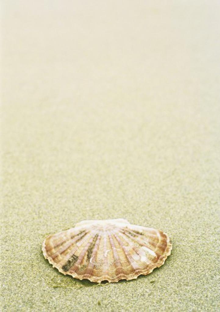 Scallop shell on beach : Stock Photo