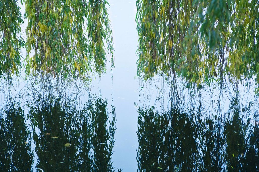 Weeping willow hanging over water with reflection in water : Stock Photo