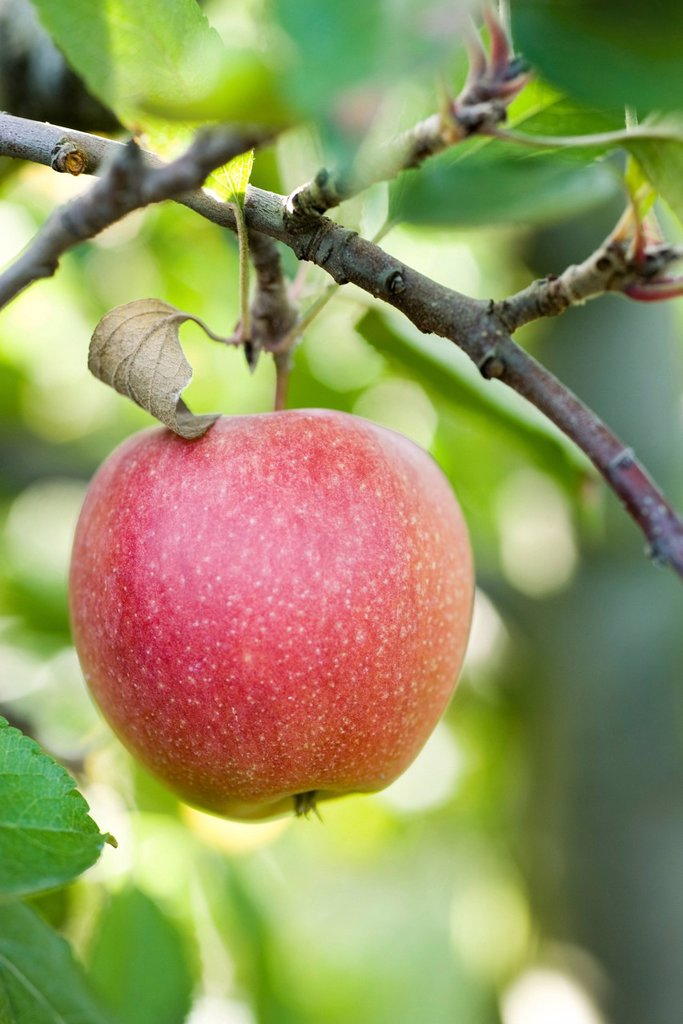 Apple growing on branch : Stock Photo