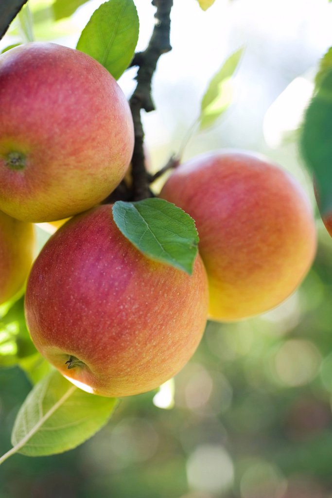 Stock Photo: 1569R-9044024 Apples ripening on branch