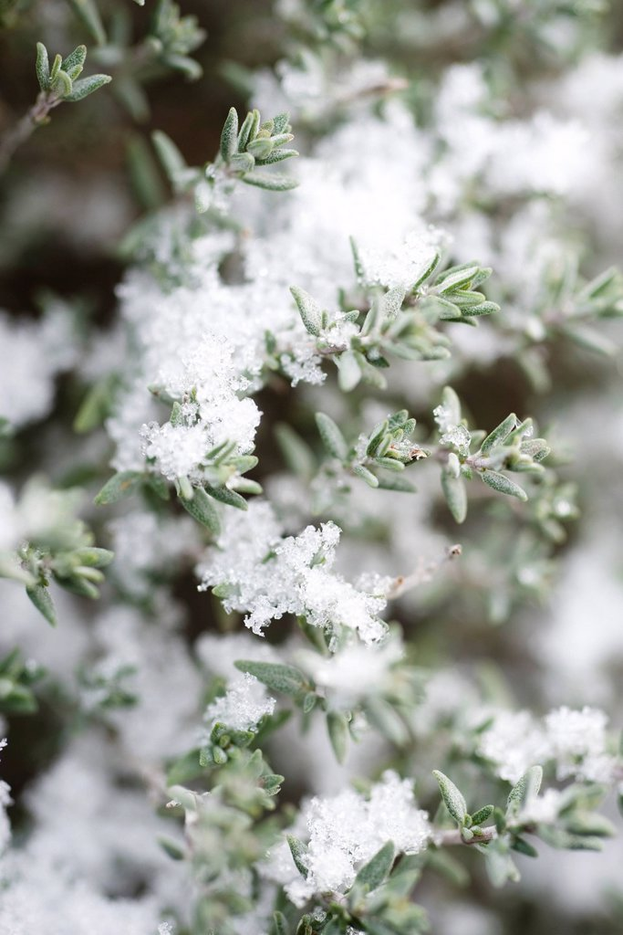 Snow frosted branches of thyme plant : Stock Photo