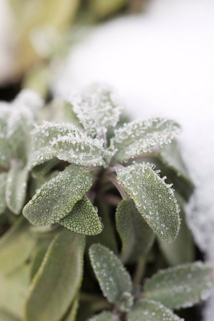 Stock Photo: 1569R-9044043 Frosted leaves of sage plant