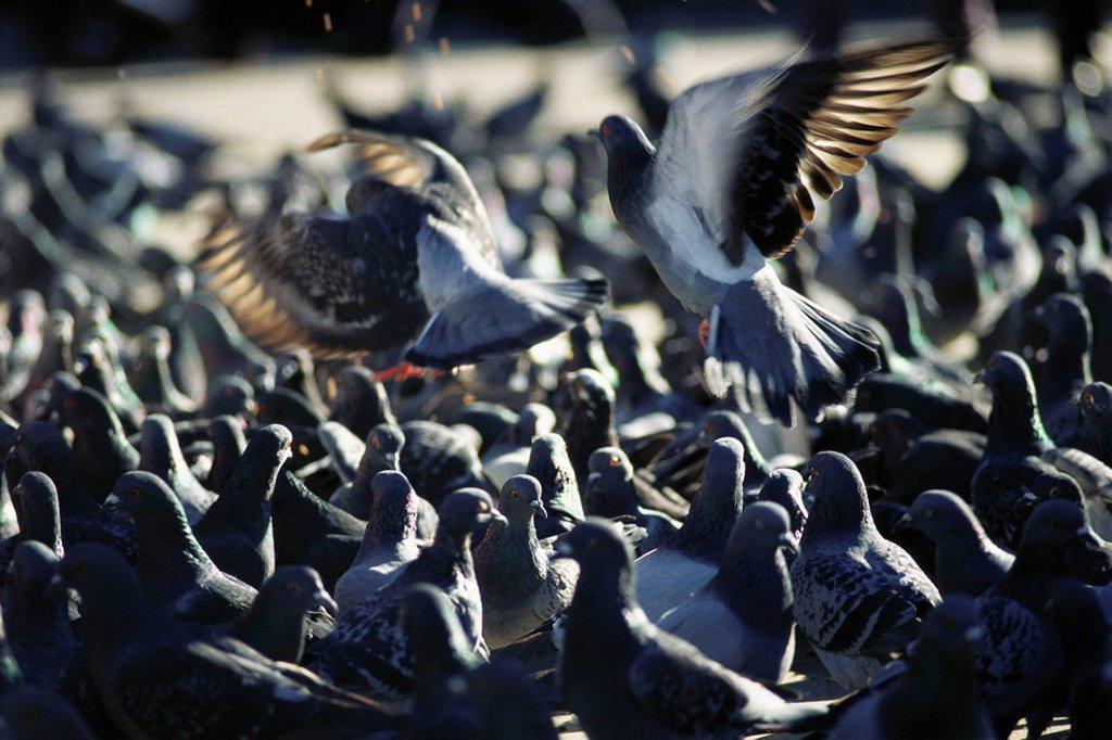 Stock Photo: 1569R-9054963 Flock of pigeons