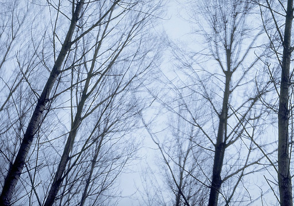 Bare trees and overcast sky, low angle view : Stock Photo