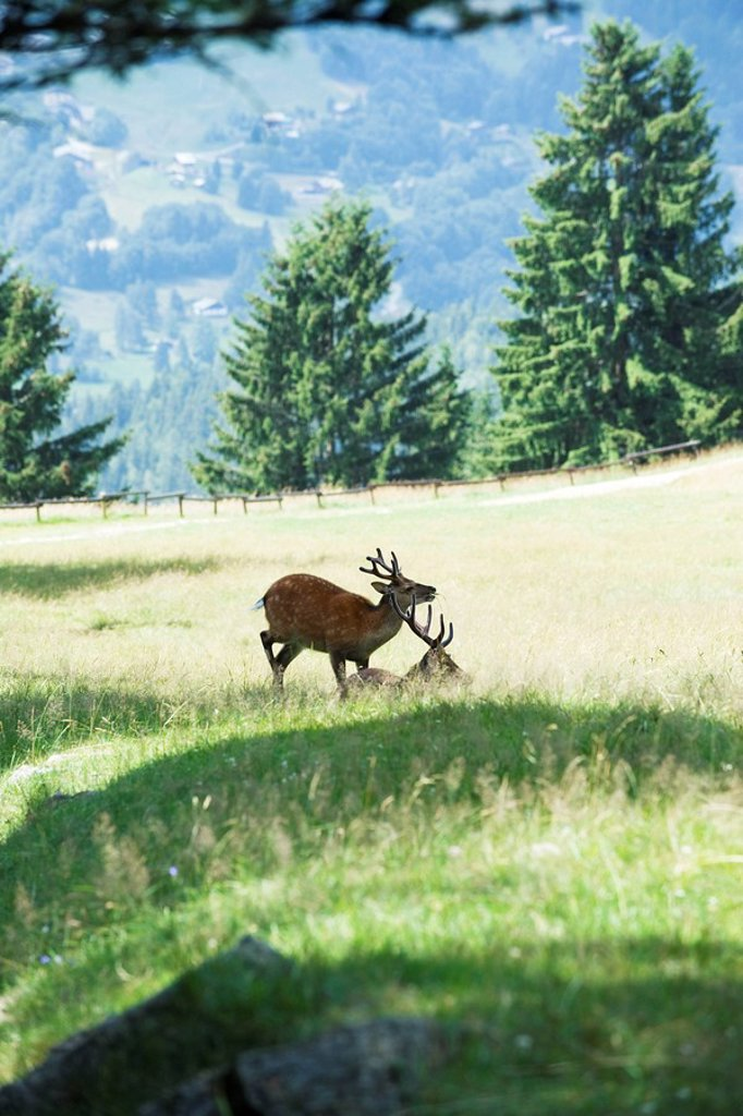 Two bucks in a sunny meadow : Stock Photo