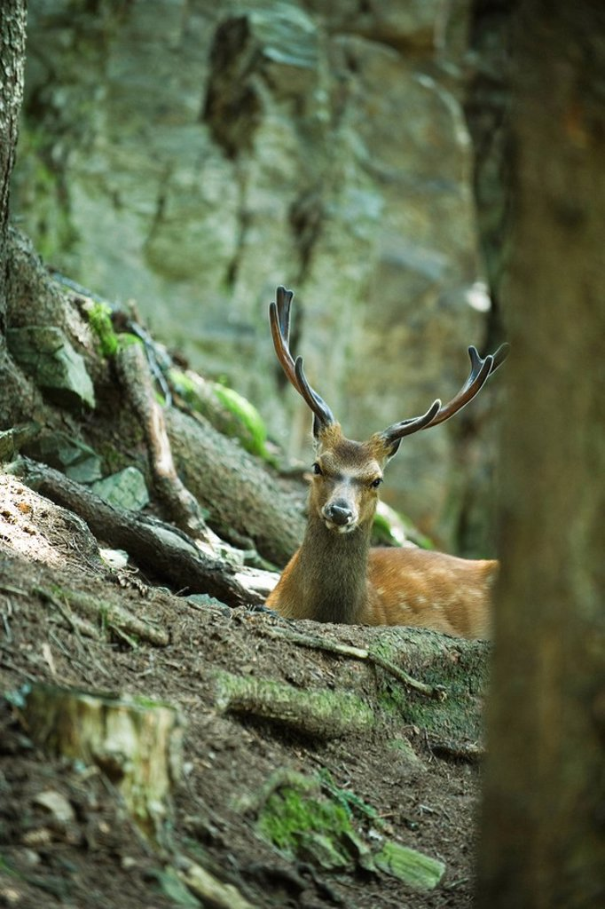 Buck looking over tree roots : Stock Photo